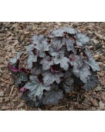 Heuchera Velvet Night