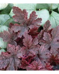 Heucherella Berry Fizz