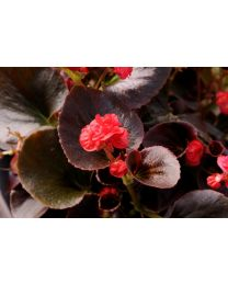 Begonia Doble Coco Red