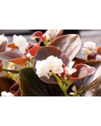 Begonia Doble Coco White