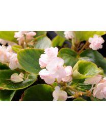 Begonia Doble Pink