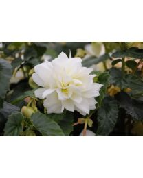 Begonia Belleconia Snow