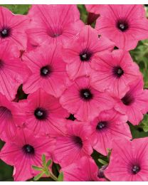 Supertunia VISTA Fuchsia