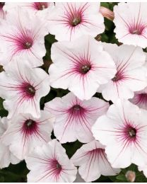 Supertunia VISTA Silverberry