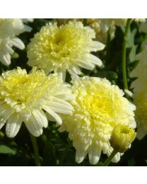 Argyranthemum Pacific Gold