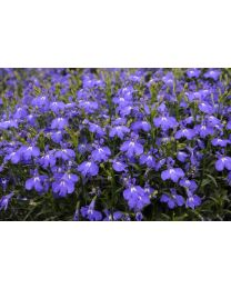 Lobelia Lobelix Blue