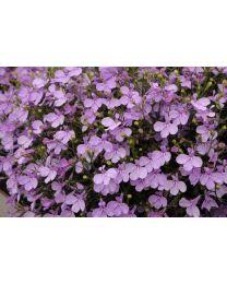 Lobelia Lobelix Lilac