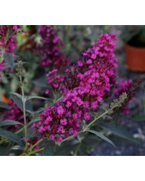 Buddleja Buzz Hot Raspberry