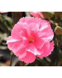 Dianthus Dinamic Pink