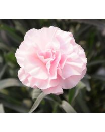 Dianthus Dinamic Pink to White