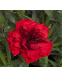 Dianthus Dinamic Red