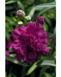 Dianthus Dinamic Violet