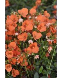 Diascia Orange