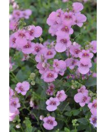 Diascia Pink