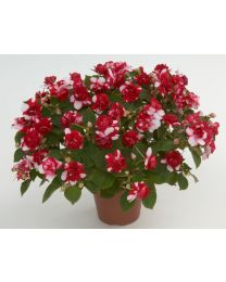 Impatiens Musica Bicolor Dark Red