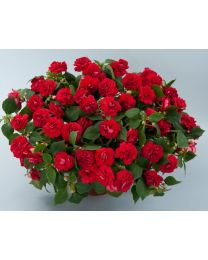 Impatiens Musica Elegant Red