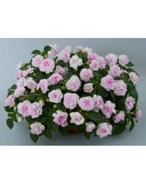 Impatiens Musica Princess Pink