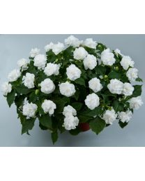 Impatiens Musica Pure White