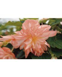 Begonia Belleconia Soft Orange