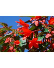 Begonia Summerwings Deep Red