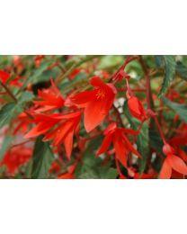 Begonia Summerwings Orange