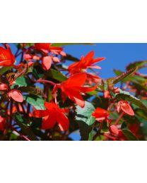 Begonia Summerwings Rose