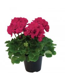 Pelargonia Francesco