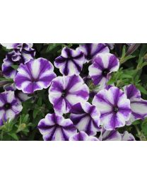 Supertunia seria Star - Blueberry Star