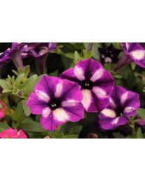 Supertunia seria Star - Grape Star