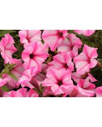 Supertunia seria Star - Pink Star