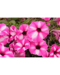 Supertunia seria Star - Raspberry Star