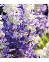 Salvia Cobalt Candle
