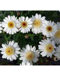 Argyranthemum White Mocha