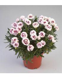 Dianthus Disco Rumba