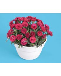 Dianthus Roselly Red