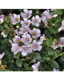 Bacopa Sutera Everest Cherry Blossom