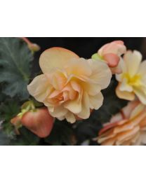 Begonia Fragrant Falls Fragrant Falls Peach
