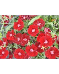 Dianthus Summer Diamonds Dark Red