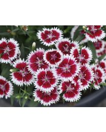 Dianthus Summer Diamonds Ruby Picotee