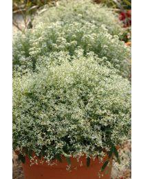 Euphorbia Diamond Frost