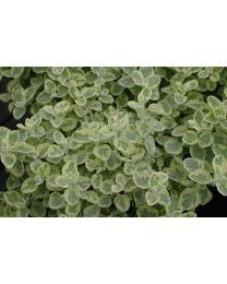 Helichrysum Rondello