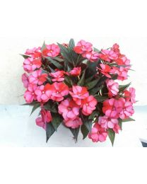 Impatiens NG Guadeloupe Improved