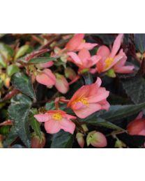 Begonia Summerwings Pink Elegance