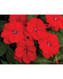 Sunpatiens Vigorous Scarlet Red