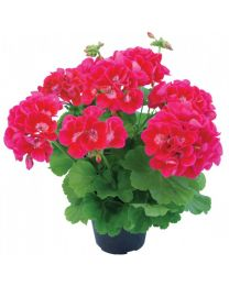 Pelargonia Champion Flash Eye