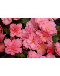 Begonia Cottage Glory Pink