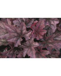Heuchera Season's King