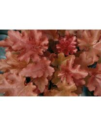 Heuchera Red Fury