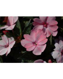 Sunpatiens Compact Blush Pink