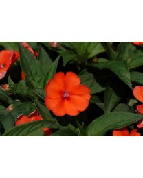 Sunpatiens Vigorous Orange